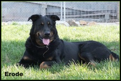Erode, chien Beauceron