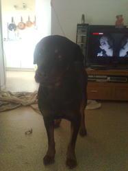 Erold, chien Rottweiler