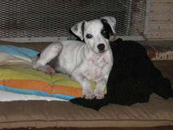 Eronn, chien Jack Russell Terrier