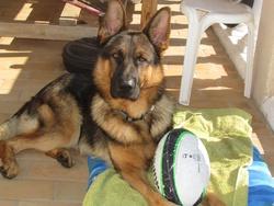 Éros , chien Berger allemand
