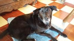 Eros, chien Labrador Retriever
