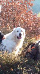 Eros, chien Golden Retriever