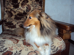 Eros, chien Berger des Shetland