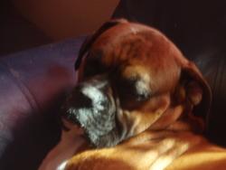 Eros, chien Boxer