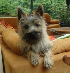 Eros, chien Cairn Terrier