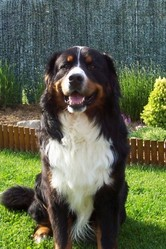 Eros , chien Bouvier bernois