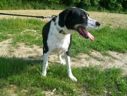 Eros, chien Setter anglais