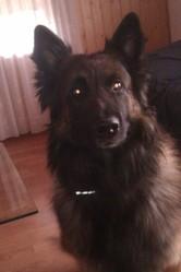 Eros, chien Berger belge