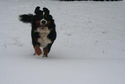 Eros, chien Bouvier bernois