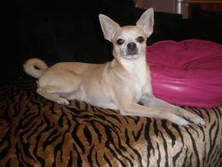 Eros, chien Chihuahua