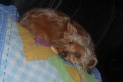 Eros, chien Yorkshire Terrier
