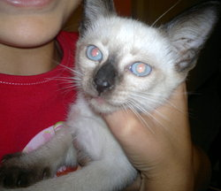 Eros, chat Thaï
