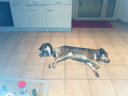 Eros, chien Husky sibérien