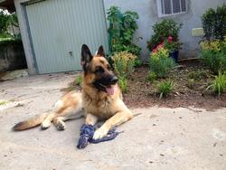 Eros, chien Berger allemand