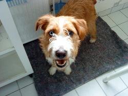 Eros, chien Griffon fauve de Bretagne