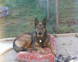 Eros , chien Berger belge