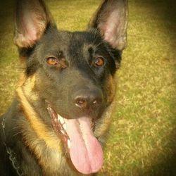 Eross, chien Berger allemand