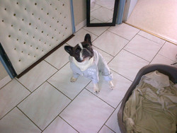 Erton, chien Bouledogue français