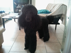 Ervat, chien Caniche