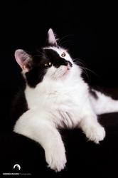 Erwynne, chat Européen
