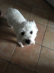 Eryne, chien West Highland White Terrier