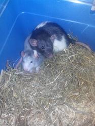 Erza , rongeur Rat