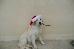 Esbroufe, chien Golden Retriever