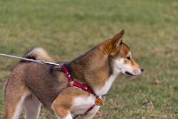 Escale À Tahaa Shiba, chien Shiba Inu
