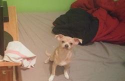 Escobar, chien Chihuahua