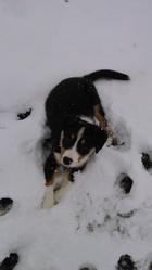 Esen, chien Bouvier bernois