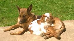 Eshana, chien Berger allemand