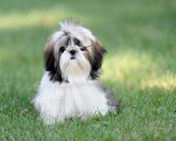 Eski, chien Shih Tzu