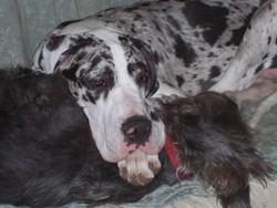 Eskia, chien Dogue allemand