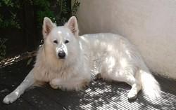 Esko, chien Berger blanc suisse