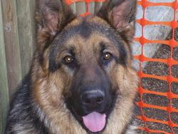 Esko, chien Berger allemand