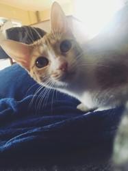 Esmeralda, chat Oriental