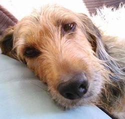 Esope, chien Griffon nivernais