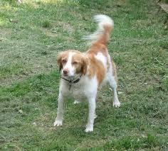 Espagnola, chien Épagneul breton