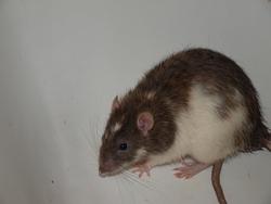 Esper - Rip, rongeur Rat