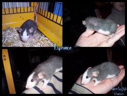 Esperance , rongeur Rat