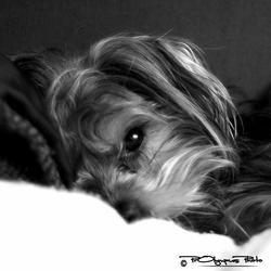 Espiègle, chien Yorkshire Terrier