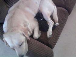 Espoir, chien Labrador Retriever