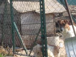 Espress, chien Fox-Terrier
