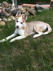Esprit, chien Husky sibérien