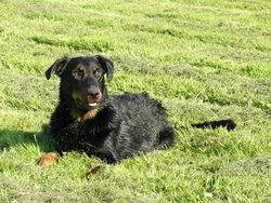 Essen, chien Beauceron