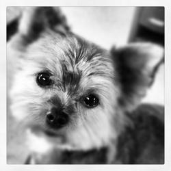 Esso, chien Yorkshire Terrier