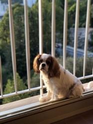 Estella, chien Cavalier King Charles Spaniel