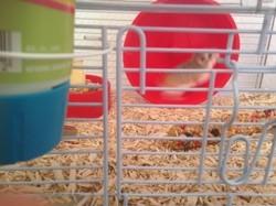 Estelle, rongeur Hamster