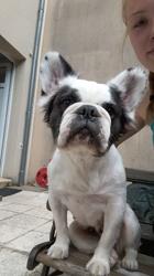 Esther, chien Bouledogue français
