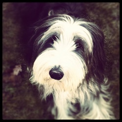 Esther, chien Bearded Collie
